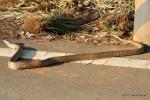 Oriental Rat Snake ptyas mucosus taiwan