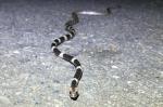 Blanford's bridle snake Lycodon davisonii Alex Heimerdinger Nakhon Ratchasima Thailand