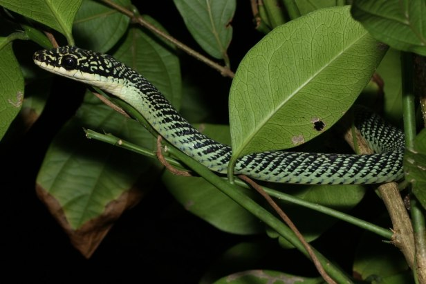 Golden Tree Snake Ornate Flying Snake Chrysopelea ornata เขียวพระอินทร์ thailand Krabi