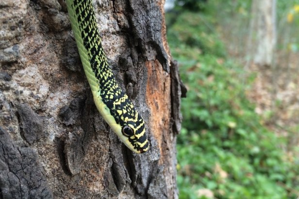 Golden Tree Snake Ornate Flying Snake Chrysopelea ornata เขียวพระอินทร์ thailand bangkok