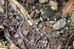 Blanford's Bridal Snake Dryocalamus davisonii