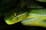 Yellow-lipped Green Pit Viper Cryptelytrops albolabris head
