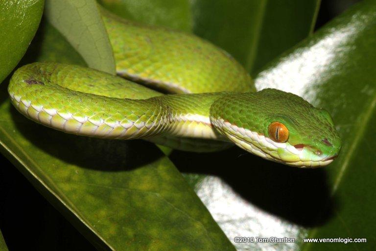 White lipped green pit viper