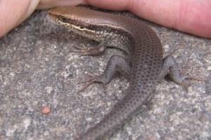 Speckled Forest Skink Eutropis macularia