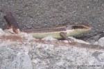 Long-tailed Sun Skink Eutropis longicaudata subadult