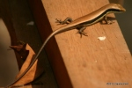 Long-tailed Sun Skink Mabuya longicaudata