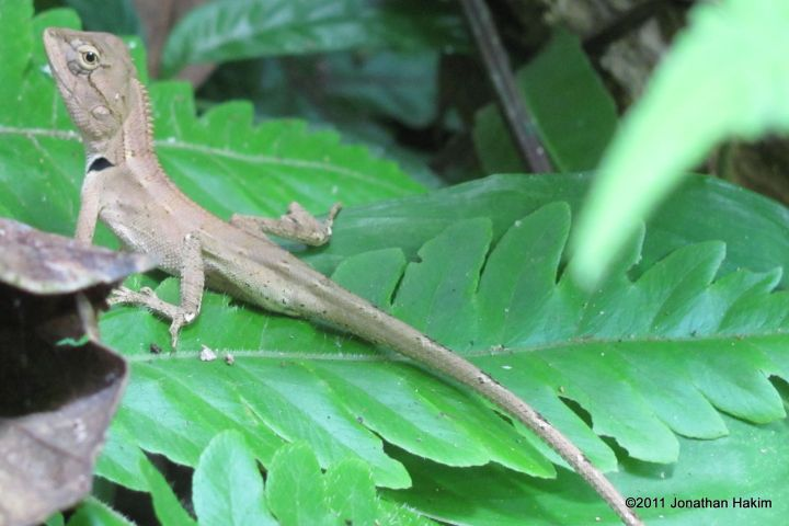 oriental garden lizard care   fasci garden