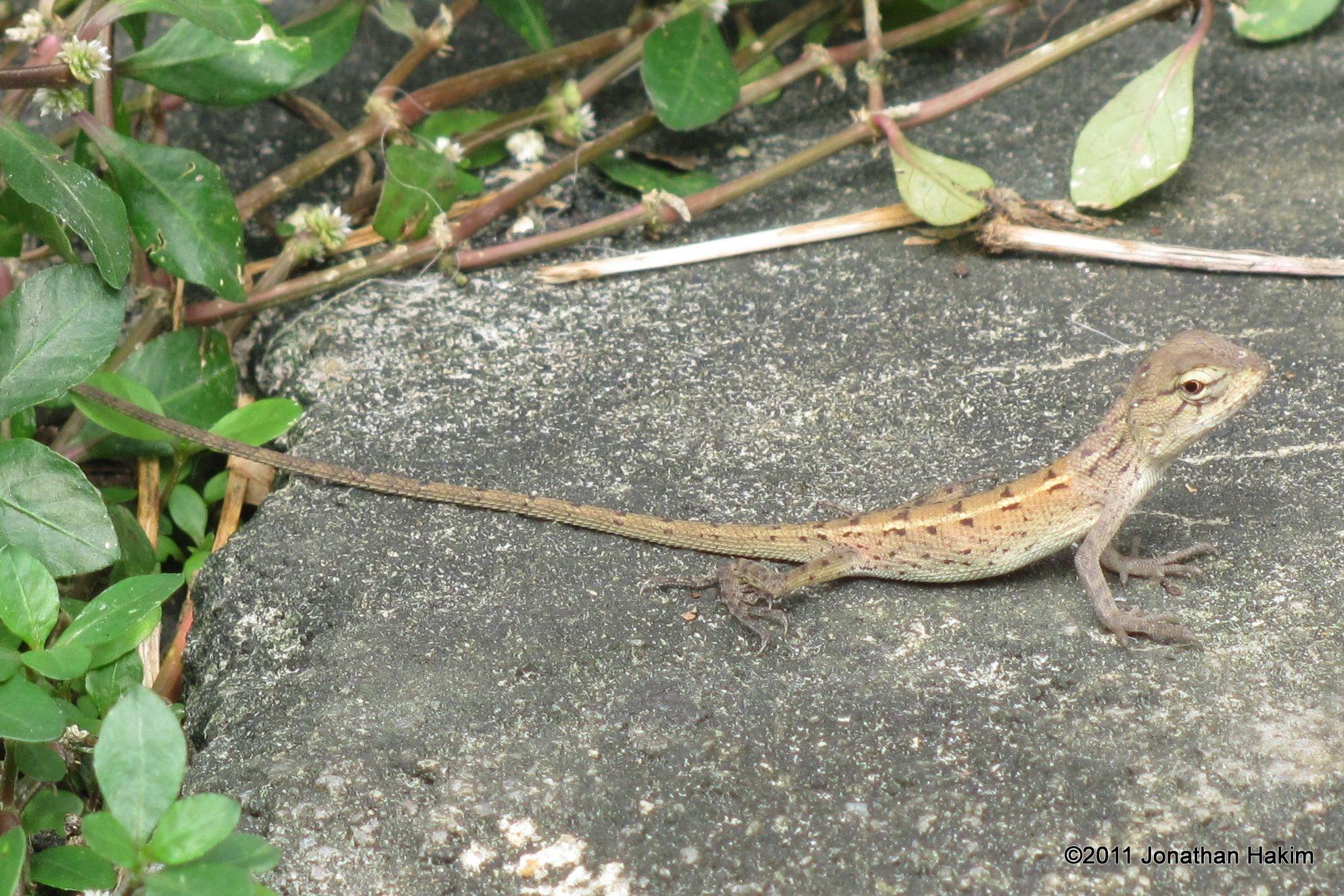oriental garden lizard calotes versicolor juvenile - Garden Lizard