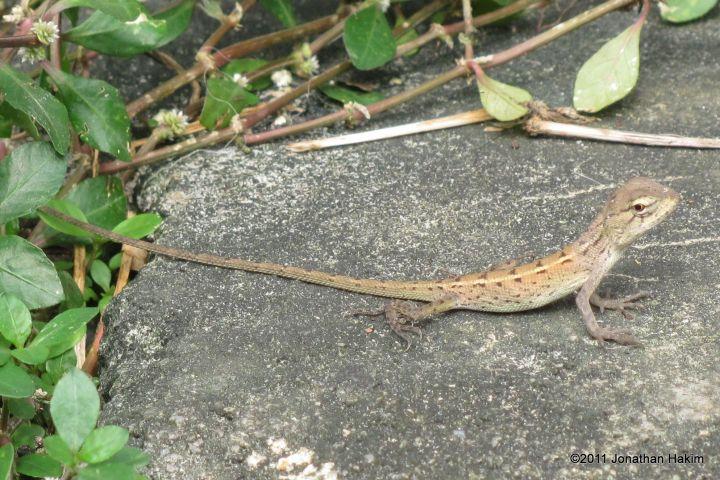 types of garden lizards   garden perfect