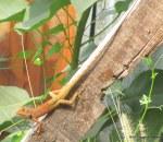 Oriental Garden Lizard Calotes versicolor