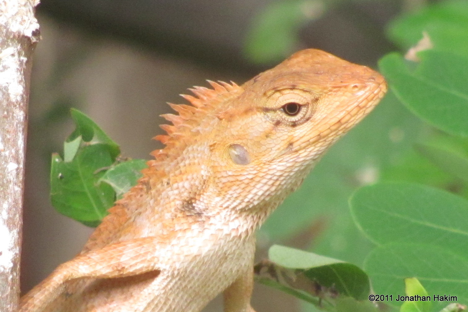 changeable lizard calotes versicolor head shot - Garden Lizard