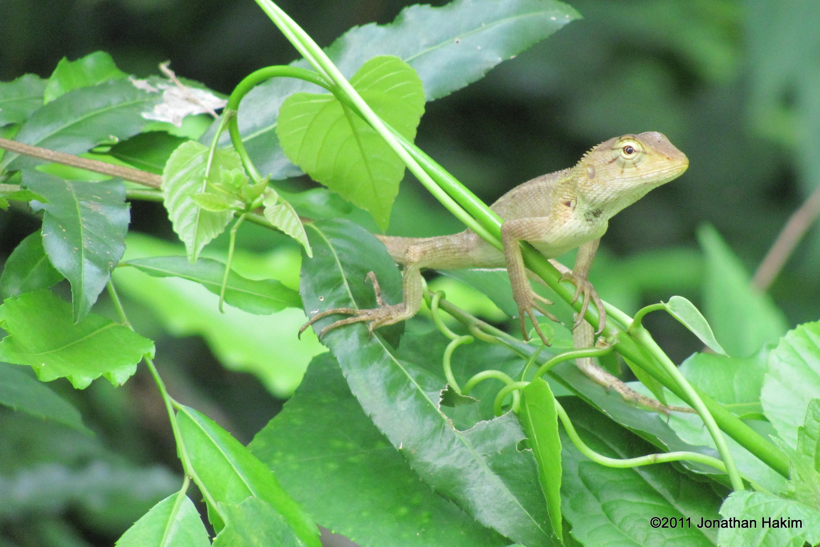 oriental garden lizard care | fasci garden