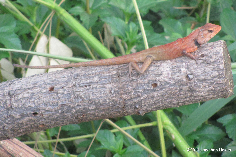 changeable lizard calotes versicolor - Garden Lizard