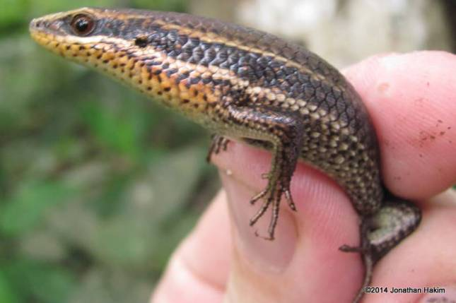 Speckled Forest Skink Eutropis macularia Chiang Mai
