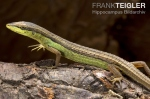 Long-tailed Grass Lizard Takydromus sexlineatus