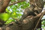 Water Monitor Varanus salvator