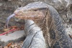 Water Monitor Varanus salvator head shot
