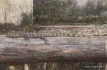 Water Monitor Varanus salvator juvenile