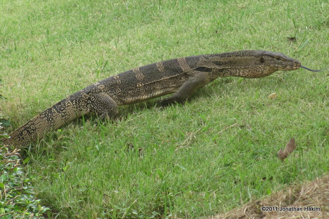Water monitor reptiles and amphibians of bangkok