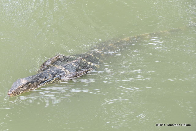 Water Monitor Varanus salvator swimming