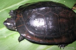 Black Marsh Turtle Siebenrockiella crassicolli