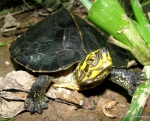 Yellow-headed Temple Turtle Hieremys annandalii juvenile