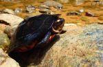 Gc Gan malaysia Black marsh turtle Siebenrockiella crassicollis