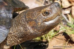 Giant Asian Pond Turtle - (Heosemys grandis) Kimberly Colette Micallef