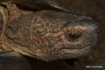 Giant Asian Pond Turtle Heosemys grandis head