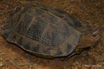 Giant Leaf Turtle Heosemys grandis