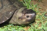 Black Mud Turtle Siebenrockiella crassicollis head