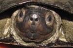 Smiling Terrapin Siebenrockiella crassicollis head