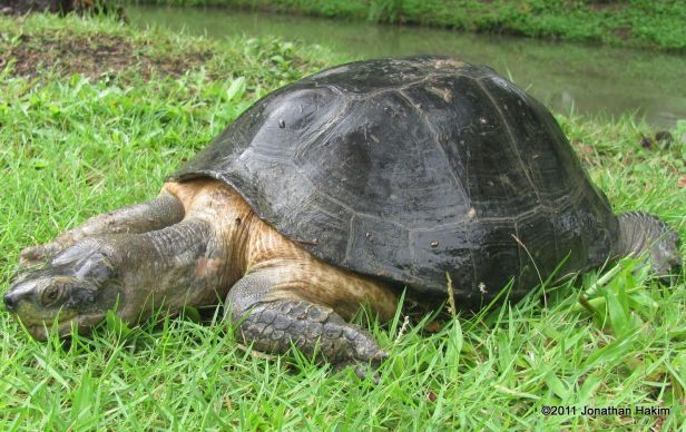 Yellow-headed Temple Turtle (Hieremys annandalii)