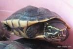Malayan Snail-eating Turtle Malayemys macrocephala
