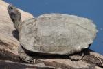 Giant Asian pond turtle (Heosemys grandis) Jeff Chapman Nakhon Nayok