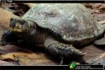 Giant Asian Pond Turtle Heosemys grandis