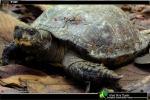 Giant Asian Pond Turtle Heosemys grandis