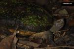 Giant Asian pond turtle Heosemys grandis Richard Lee Singapore