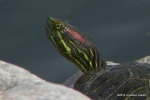 Red-eared Slider Trachemys scripta elegans head shot