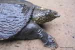 Asian Softshell Turtle Amyda cartilaginea