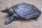 Asian Softshell Turtle Amyda cartilaginea