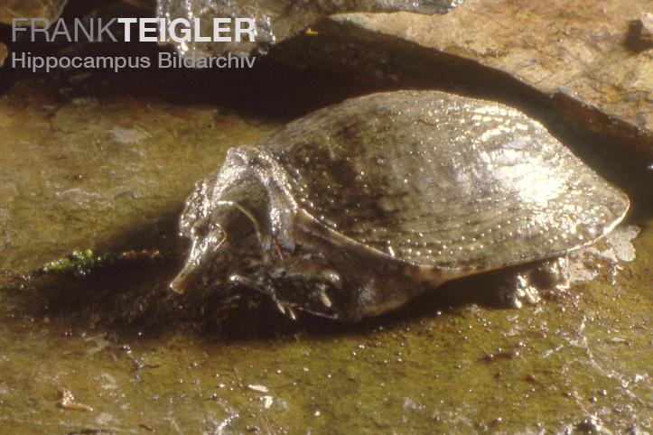 Pelodiscus Sinensis Distribution Turtle Pelodiscus Sinensis