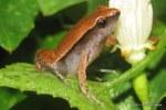 Dark-sided Chorus Frog Microhyla heymonsi
