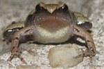 Darkside Narrowmouth Frog Microhyla heymonsi