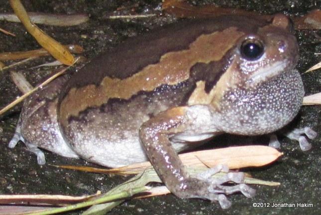 Asian Painted Frog Kaloula pulchra