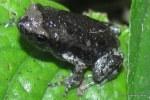 Banded Bullfrog Kaloula pulchra metamorph