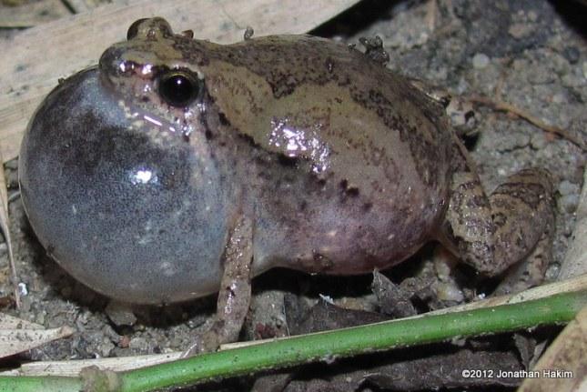 Ornate Chorus Frog Microhyla fissipes
