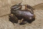 Inornate Froglet Microhyla inornata