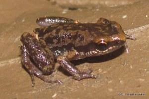 Inornate Froglet Micryletta inornata