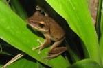 Brown Treefrog Polypedates leucomystax megacephalus